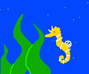 Seahorse looks at kelp