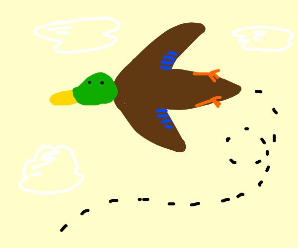 the mallard duck soars through the air