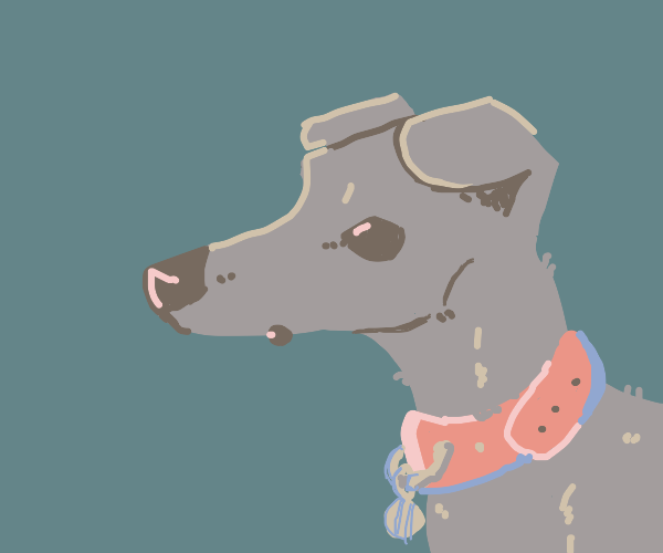 Greyhound/whippet with pink collar