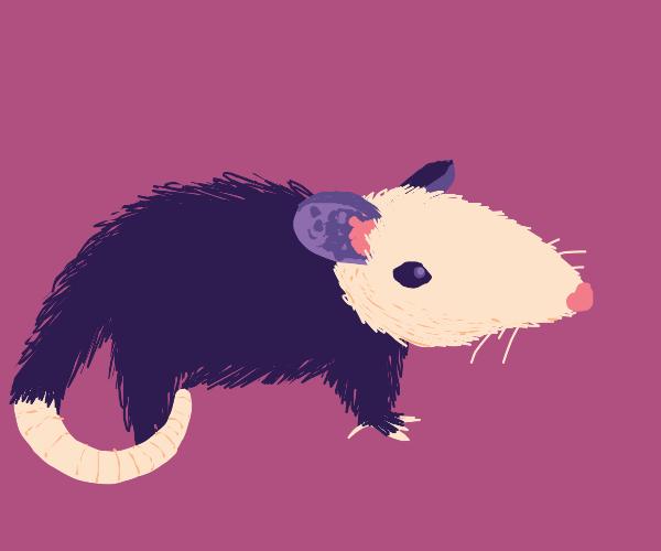 an opossom