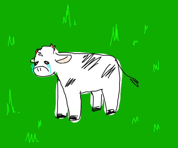 Sad, Hornless Cow