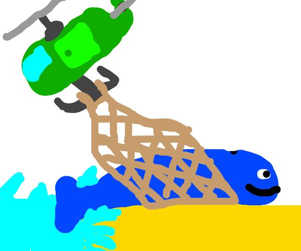 Saving a beached whale
