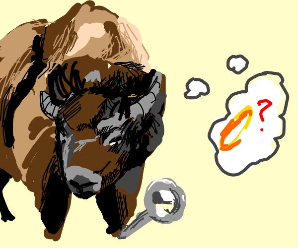 Buffalo exploring with a Ring