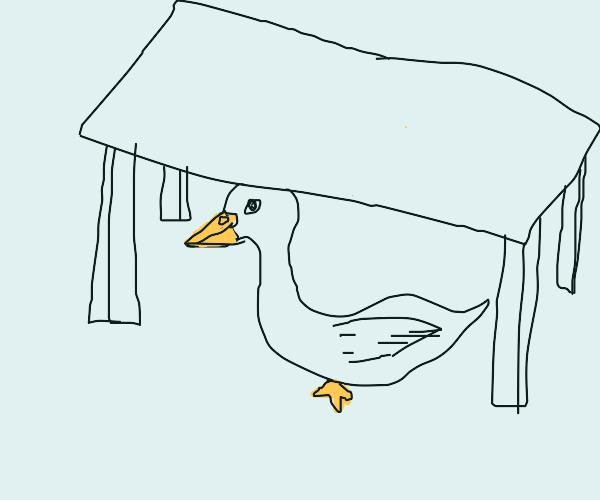 swan hiding under a table
