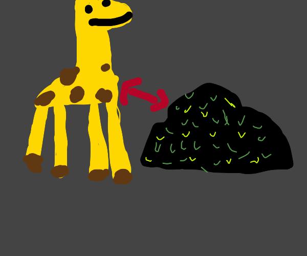 giraffe sitting next to black bush