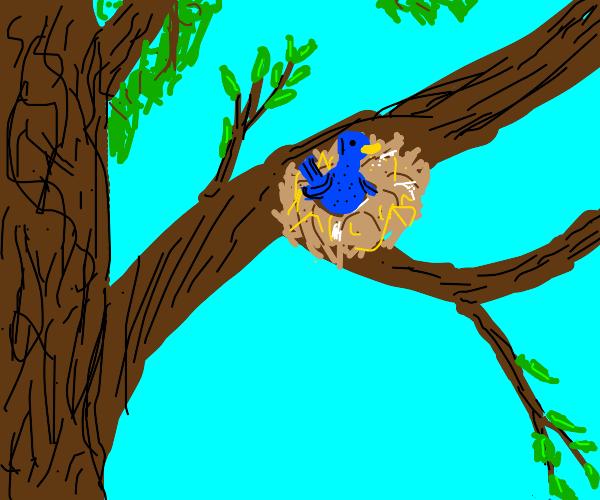 Bluebird in a nest