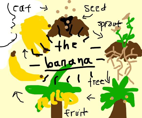the life cycle of a banana