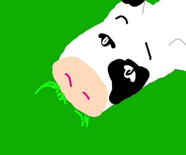 Gentleman cow enjoys a spot of grass