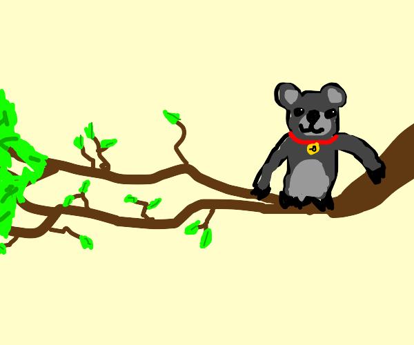Pet Koala