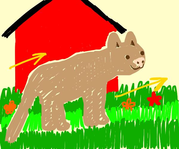Cougar crossing a Lawn