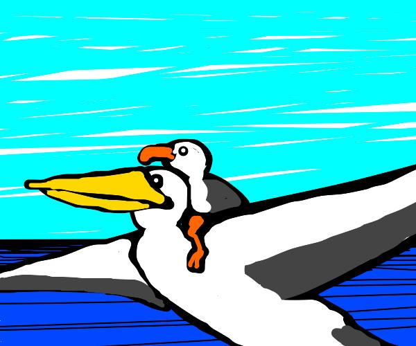 Seagull rides a pelican