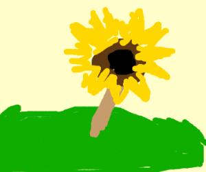 """A"" sunflower in a meadow"