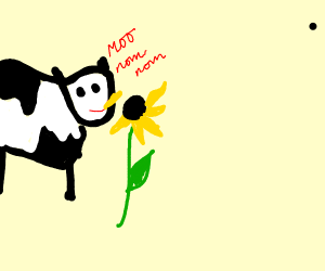 Cow eating sunflowers