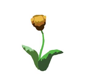 brown tulip