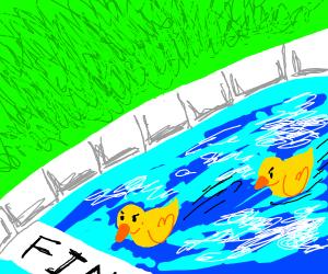 Ducks racing in swimming pool