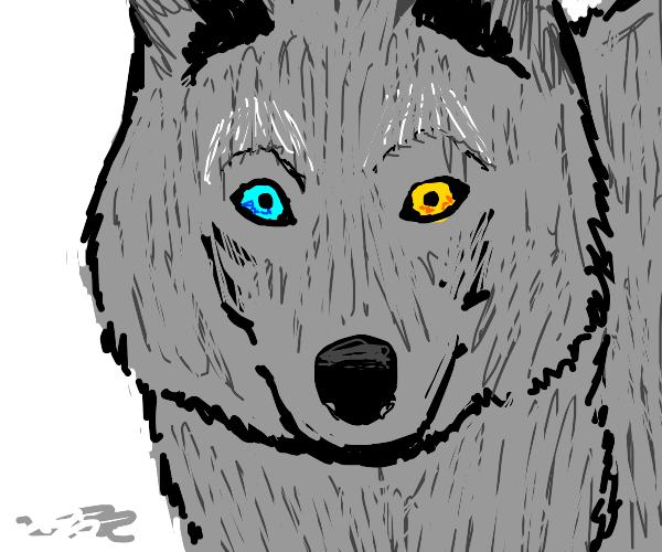 Wolf with heterochromia