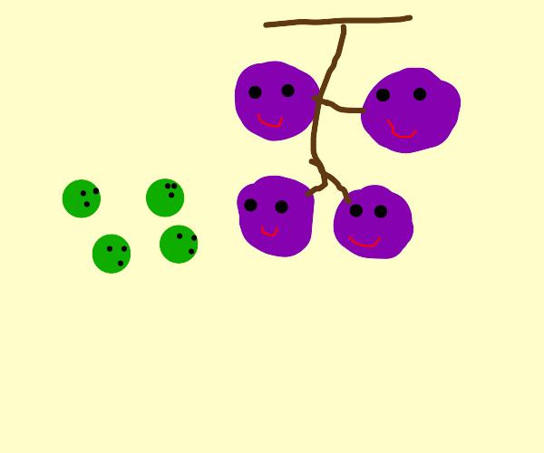 green grapes look at larger purple grapes