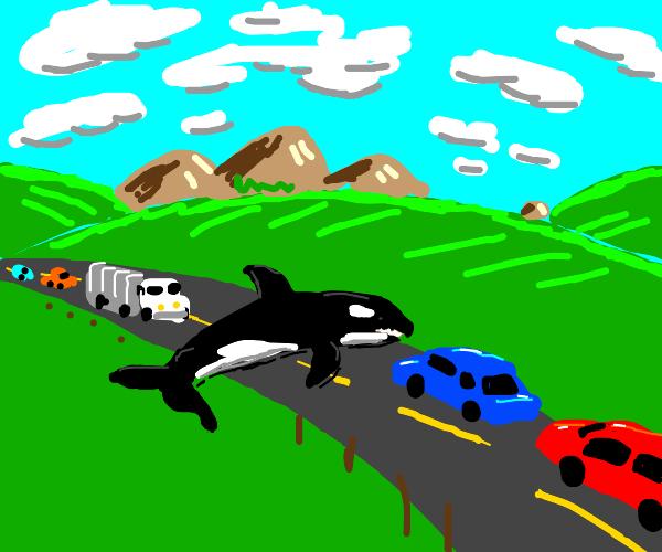 Killer whale is causing traffic jam