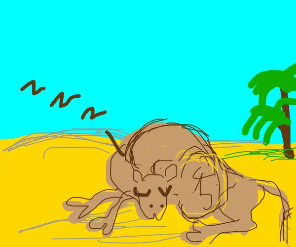 A pregnant camel dozes in the desert.