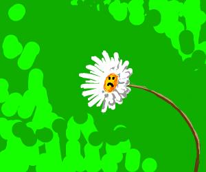 Sad daisy