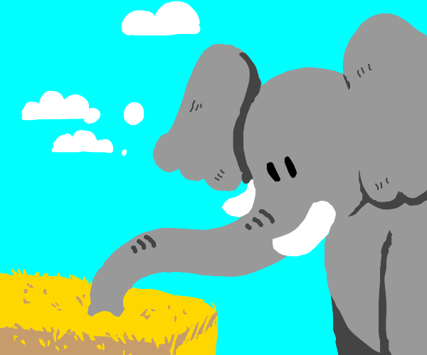 Elephant sniffs at hay