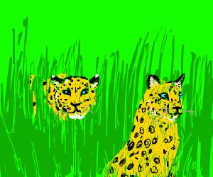 A leopard ambushes another leopard