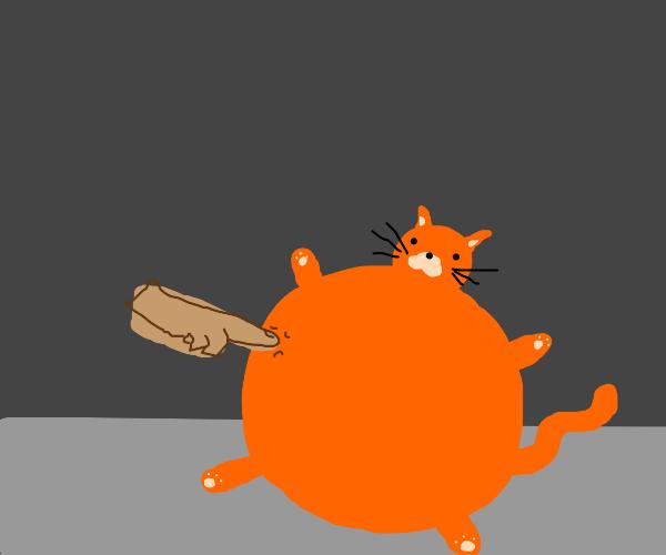 hand poking a very round cat