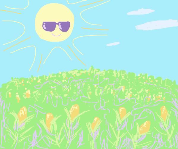 Cool sun overlooks cornfield