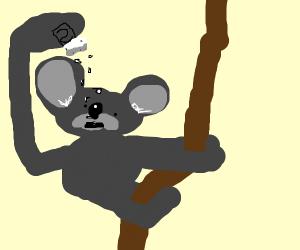 Koala eating Salt