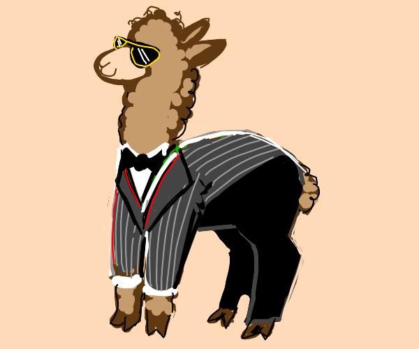 Dapper alpaca