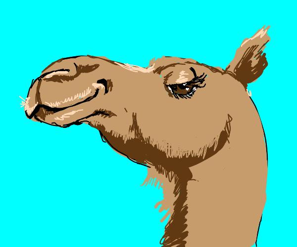 The camel bats its amber eyes
