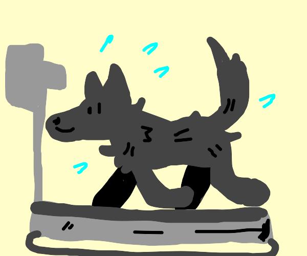 Wolf running on a treadmill