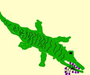 Alligator eating Grapes