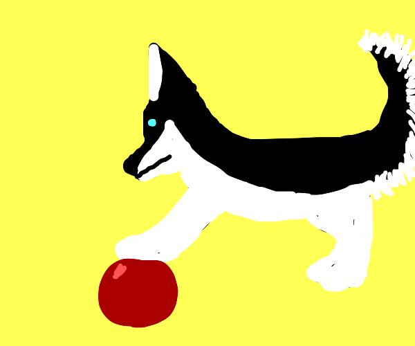 husky pup playing ball