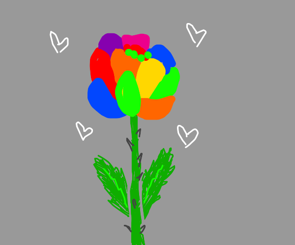 Romantic rainbow rose