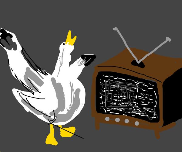 Very alarmed albatross watches TV static