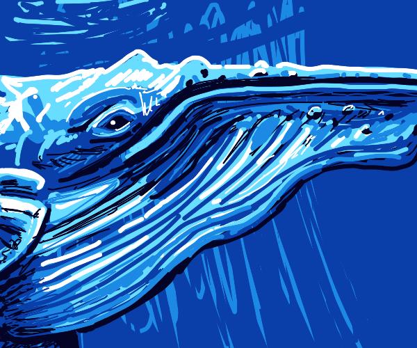 A beautiful blue whale.