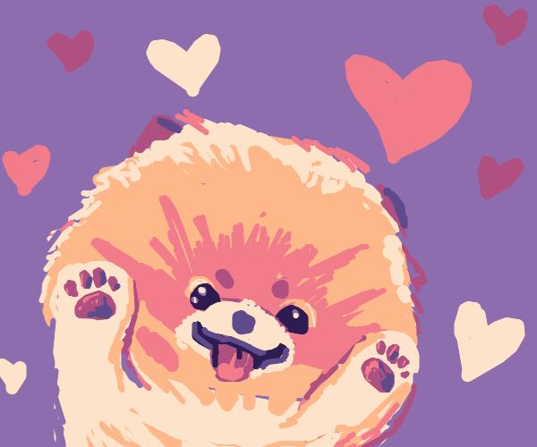 Baby Pomeranian loves you!