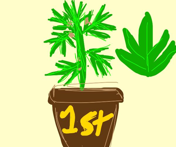 1st Place Cannabis Plant
