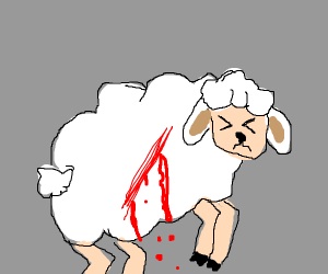 Bleeding sheep