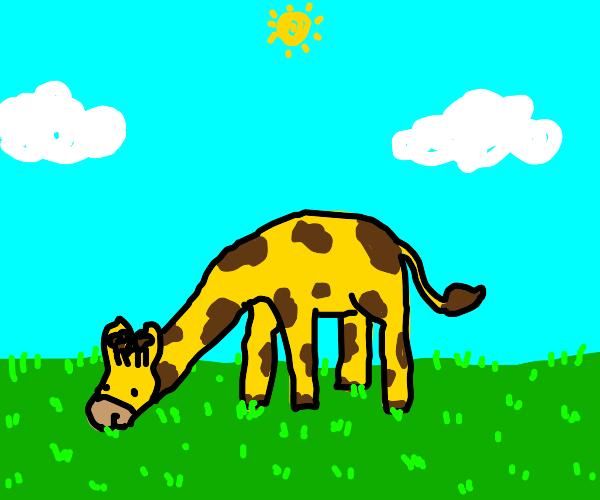 a giraffe eating grass
