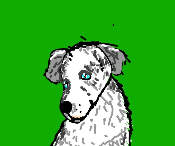 scottish sheepdog
