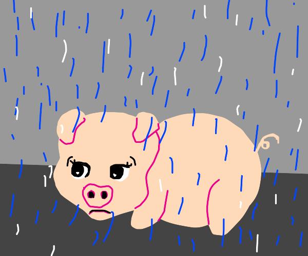 Sad pig under the rain