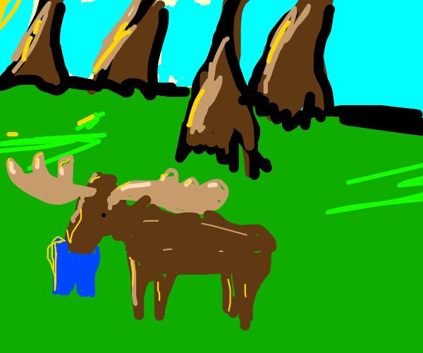 Moose eating pants