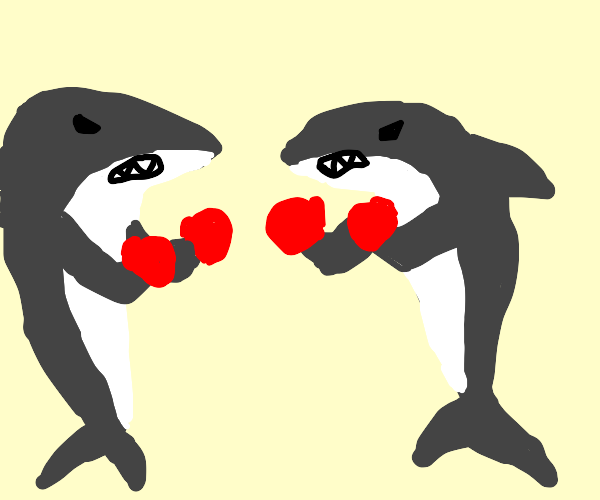 Great white Sharks boxing