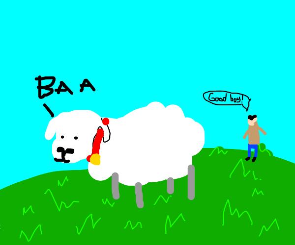 a pet sheep