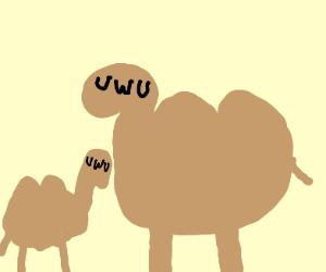 camel with umu face