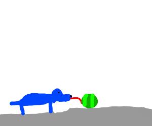 blue dog licks water mellon