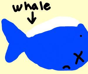 Dead blue whale