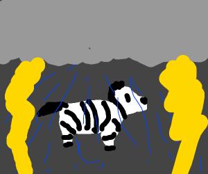 Zebra in a Thunderstorm